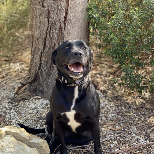 Shayde - Labrador Retriever Dog