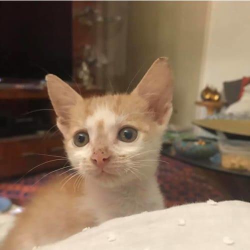 Biggie - Domestic Short Hair Cat