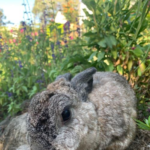 Shirley  - Netherland Dwarf Rabbit