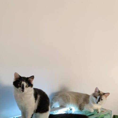 Marley & Blaze ***Bonded pair*** - Domestic Long Hair Cat