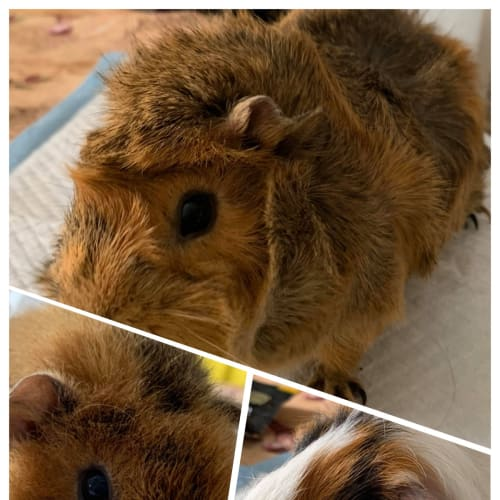 Fuzzball, Bristle & Poppy - Abyssinian Guinea Pig