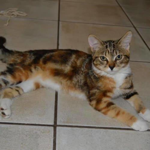 Pebbles - Domestic Short Hair Cat