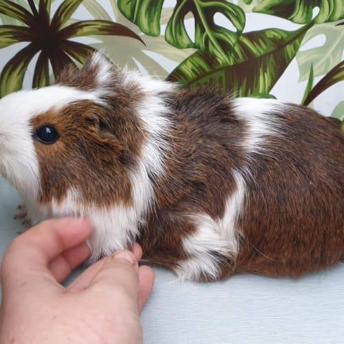 Emma - Smooth Hair x Ridgeback Guinea Pig