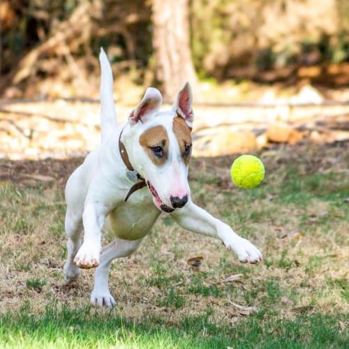 Willow - Bull Terrier Dog
