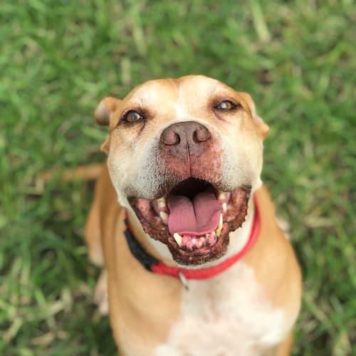 Redbull - Boxer x American Bulldog