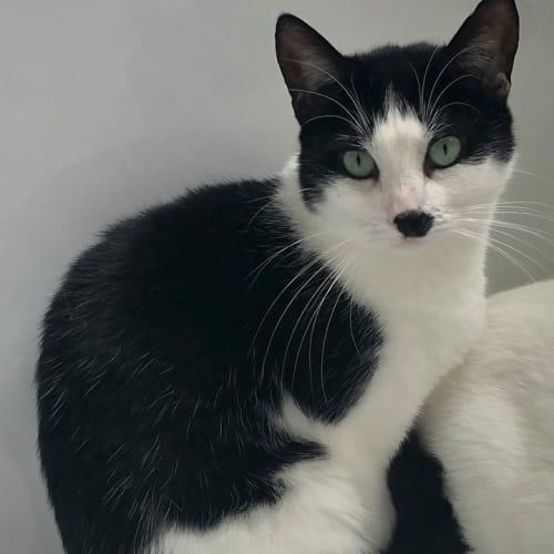 1372- Freida - Domestic Short Hair Cat