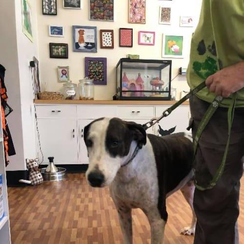 Gypsy - Bull Terrier x Pointer Dog