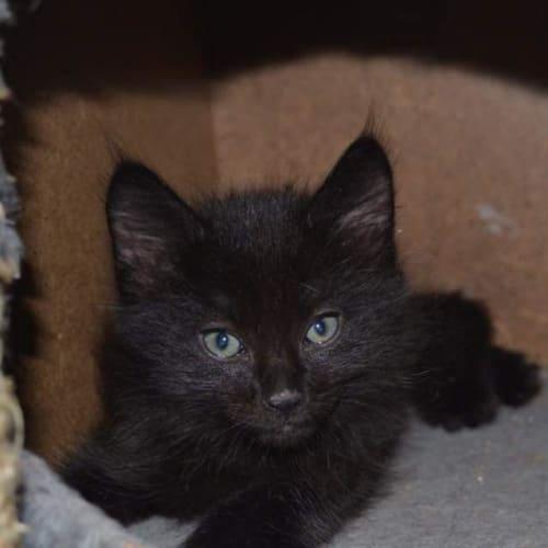 Sammich - Domestic Medium Hair Cat