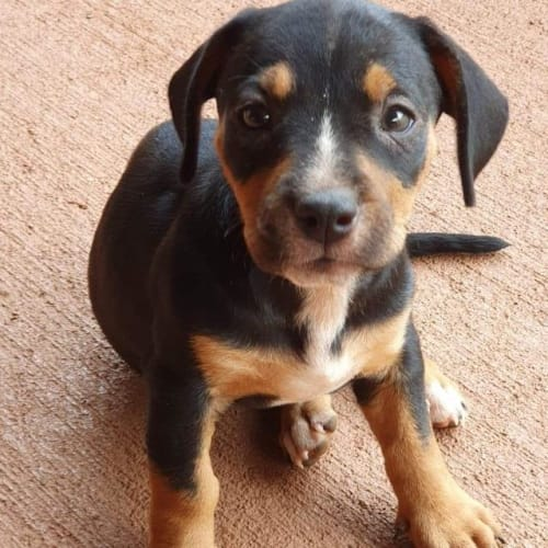 Scout - Mixed Breed Dog