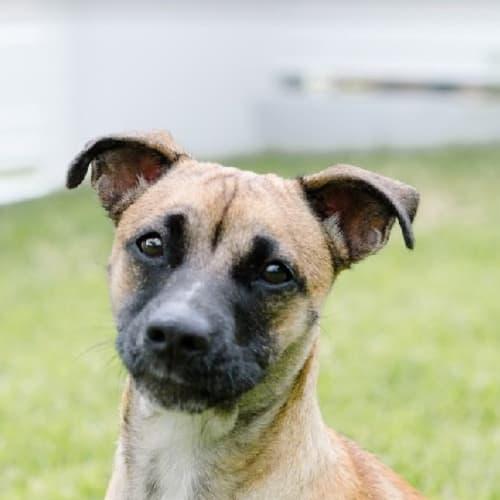 Frankie Grace - Staffy Dog