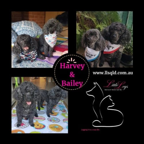 Harvey / Bailey - Mixed Breed Dog