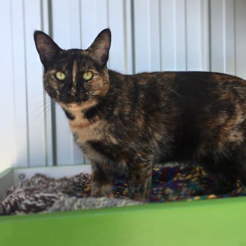 Daisy (96658) - Domestic Short Hair Cat