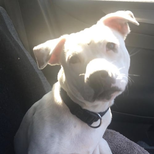 Zuma - Staffordshire Bull Terrier Dog