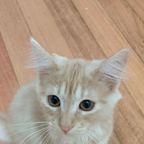 Debra - Domestic Medium Hair Cat