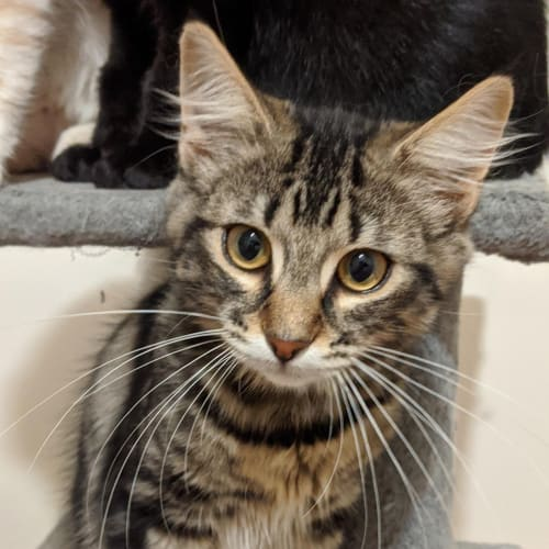 Robert - Domestic Medium Hair Cat