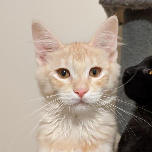 Frank - Domestic Medium Hair Cat