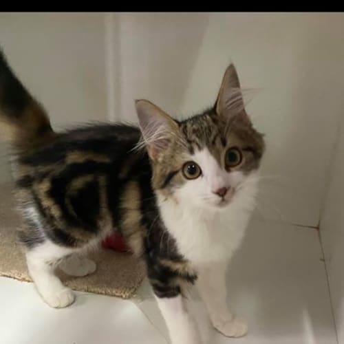 Tammy - Domestic Medium Hair Cat