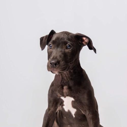 Poppy - American Staffordshire Terrier x Ridgeback Dog