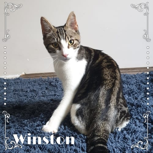 Winston  - Domestic Short Hair Cat