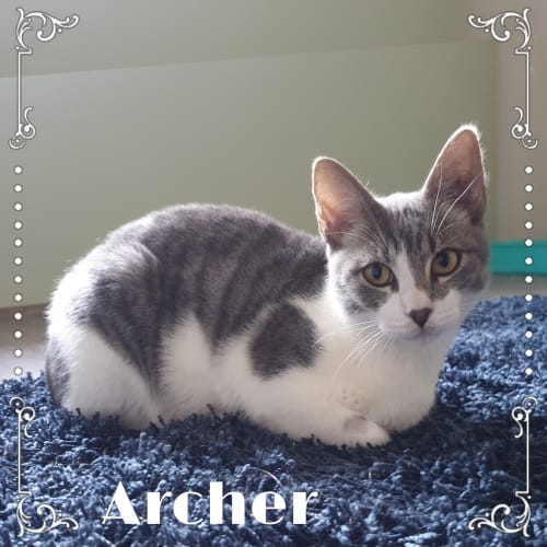 Archer - Domestic Short Hair Cat