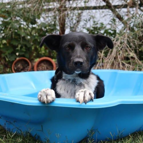 Jessie - Border Collie Dog