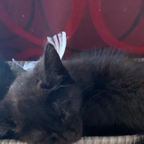 Artie - Domestic Short Hair Cat