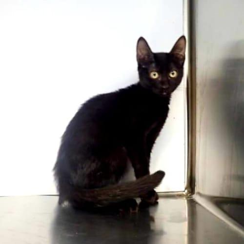 27647 - Domestic Short Hair Cat