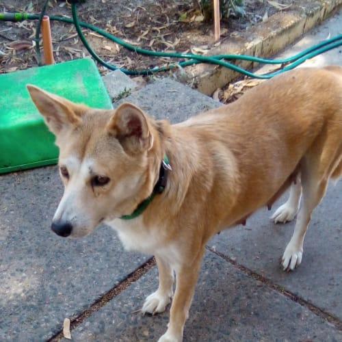 Jade - Dingo Dog