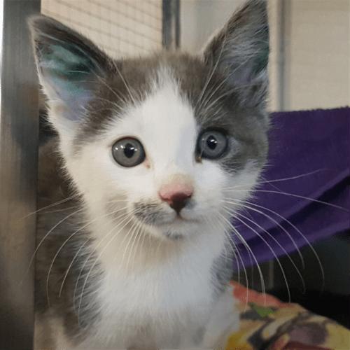 Evie - Domestic Short Hair Cat