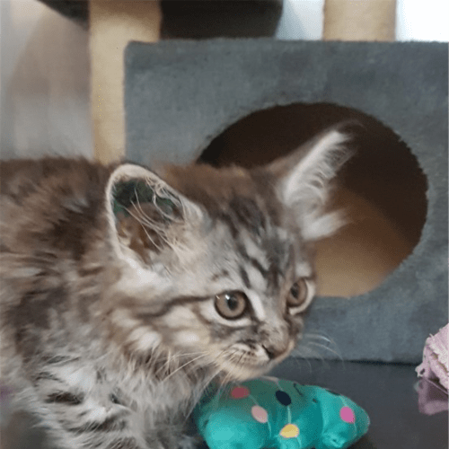 Ellie - Domestic Short Hair Cat