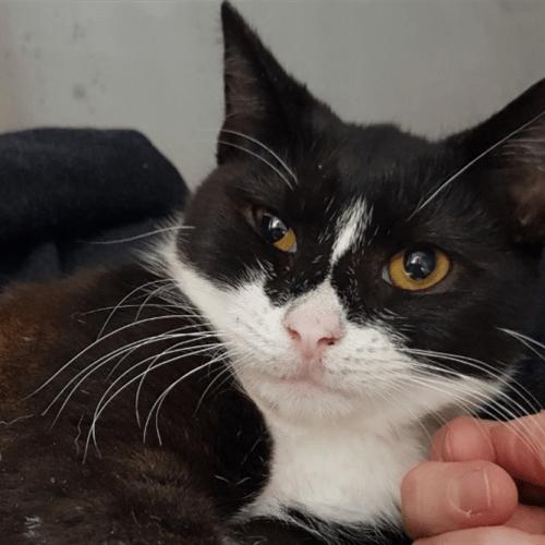 Marnie - Domestic Short Hair Cat