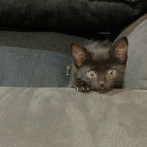 Me Me - Domestic Short Hair Cat