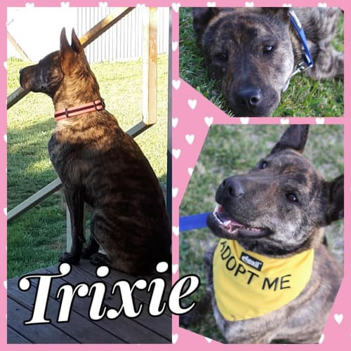 Trixie - German Shepherd x Shar-Pei Dog