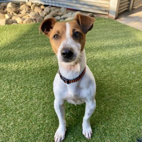 Gordon Ramsey  940964 - Jack Russell Terrier Dog