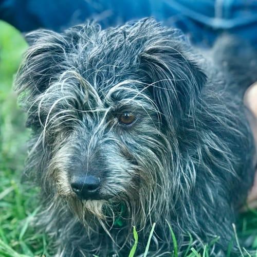 Eddie - Wirehaired Terrier Dog