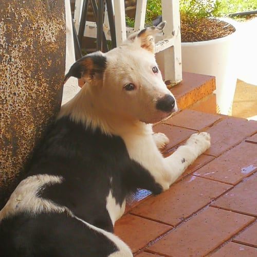 Ziggy - Border Collie Dog