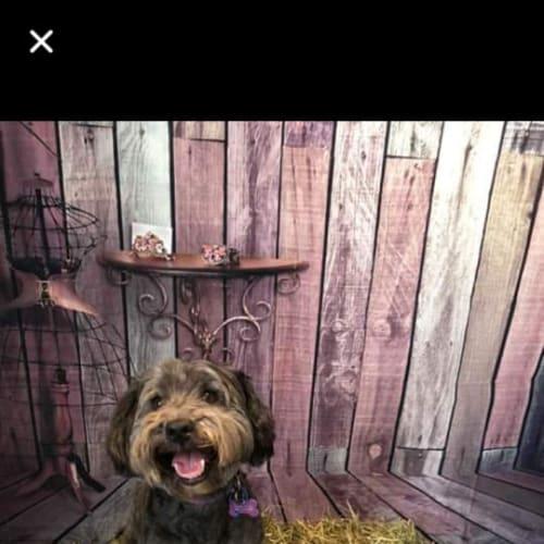 Glenny  - Maltese Dog