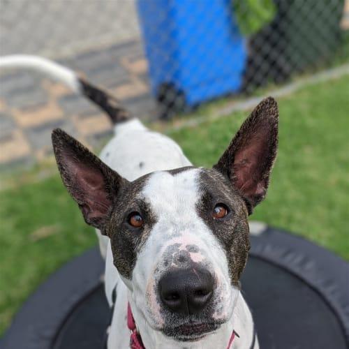 Tessa - Bull Terrier Dog