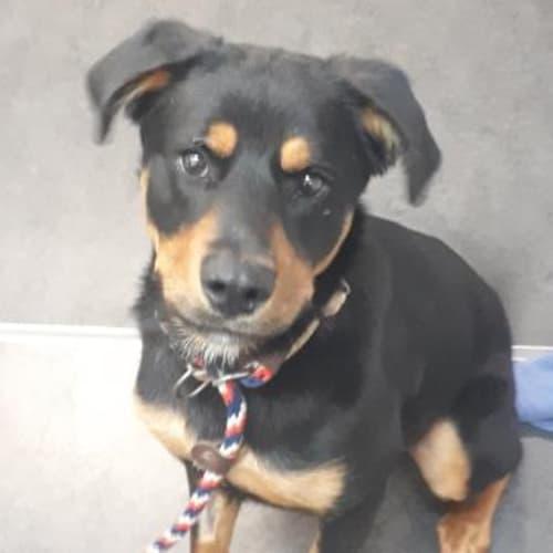 Arley   939267 - Rottweiler x Mixed Dog