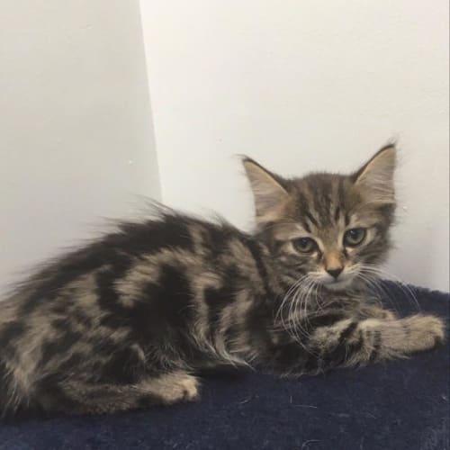 Tasha - Domestic Medium Hair Cat