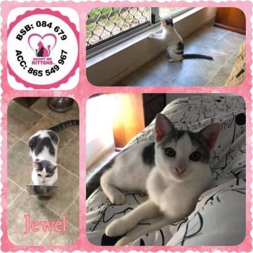 Jewel - Domestic Short Hair Cat