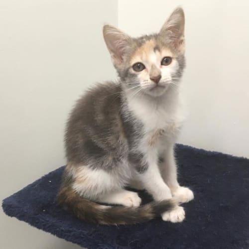Tori - Domestic Short Hair Cat