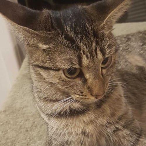 Heidi - Domestic Short Hair Cat