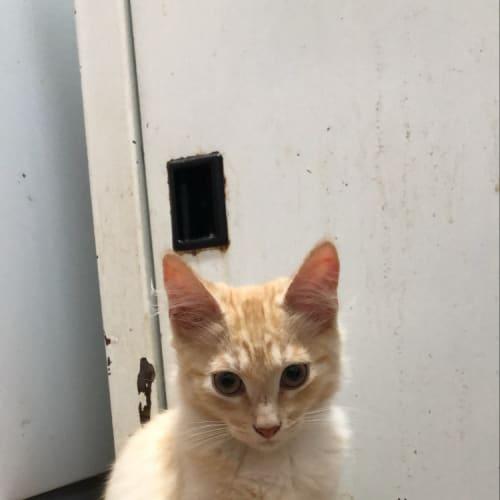 Silky - Domestic Medium Hair Cat