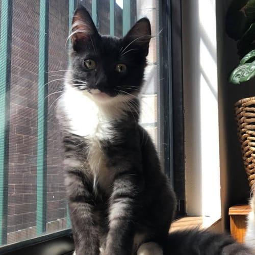 Oska - Domestic Medium Hair Cat