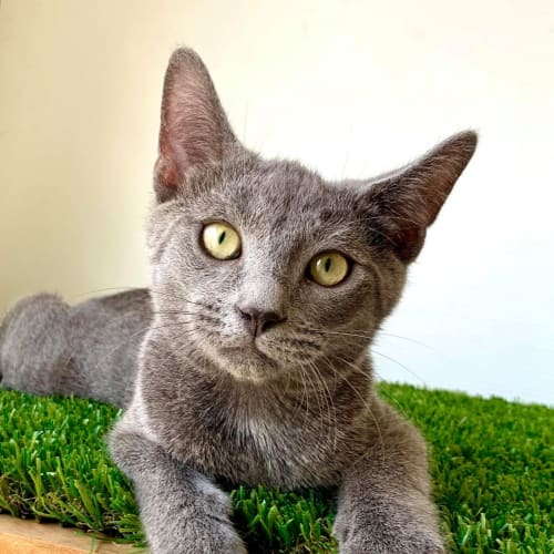 Noble - Available From 10/04. - Domestic Short Hair Cat