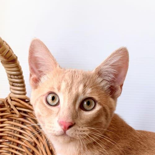 Nial - Domestic Short Hair Cat