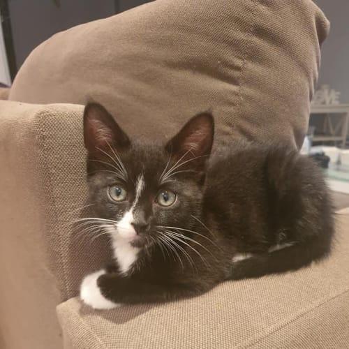 Mickey 🐭💚 - Domestic Short Hair Cat