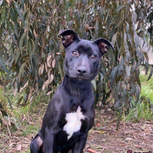 Scout - Staffy Dog