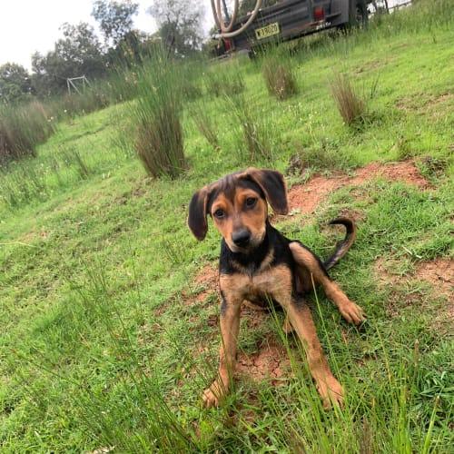 Shorty  - Kelpie x Huntaway Dog